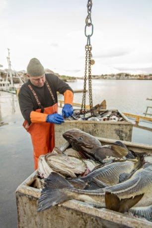 Lofoten fiske torsk